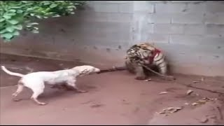 Bull terrier comes face to face with a tiger!!!