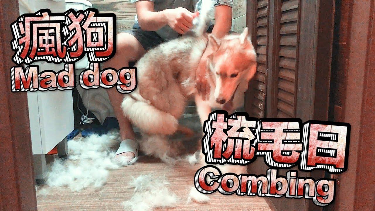 爸爸幫我梳毛Dad help me comb my hair《家有賤狗HUSKY》#二哈#哈士奇#HUSKY