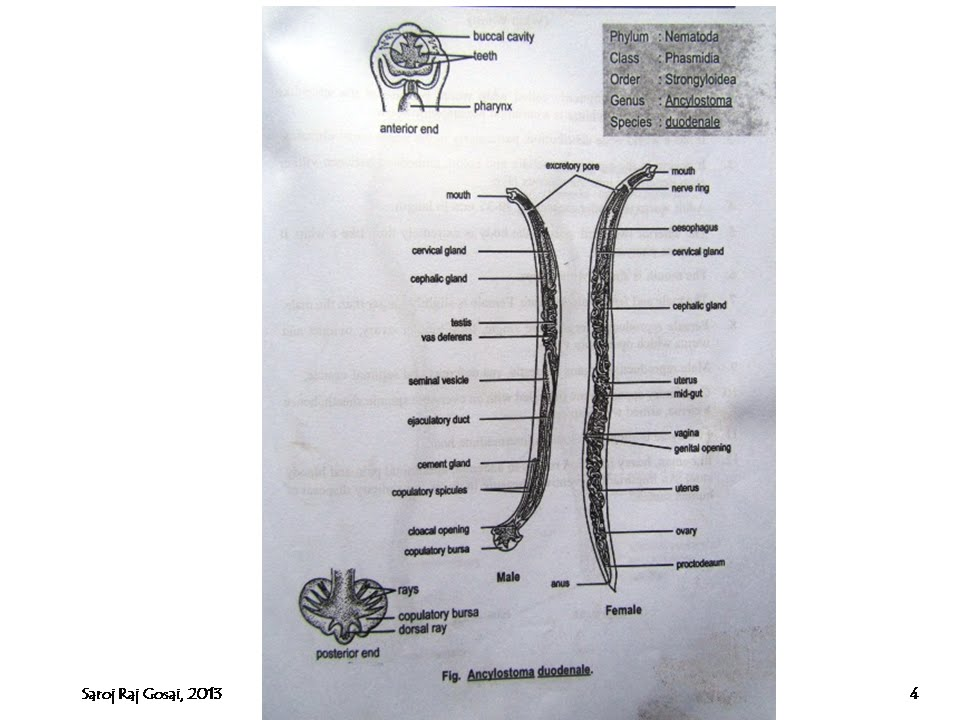 zoology for students ancylostoma duodenale hook worm youtube rh youtube com Ancylostoma Duodenale Egg ancylostoma duodenale diagram