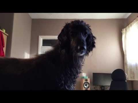 Afghan Hound wants a walk