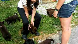 Akc Chocolate Labrador Retriever Puppies For Sale Born May 12, 2011