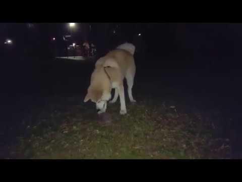Best Dog Breed Akita Inu - playing with hedgehog (Japanese Akita, 秋田犬)