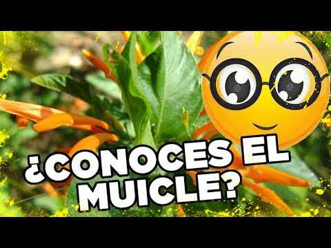 Muicle Planta Medicinal Para Que Sirve 👏 Beneficios Del Muicle