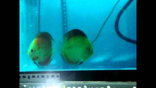 Red Melon - Discus fish