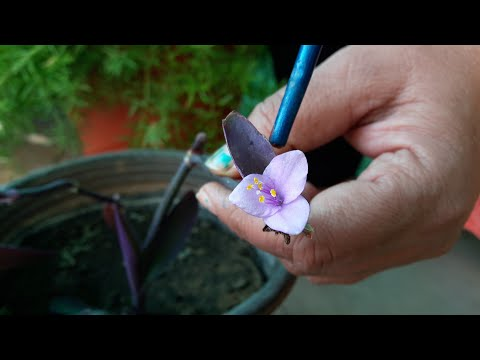 How to Grow and Care Purple Heart Plant // Fun Gardening
