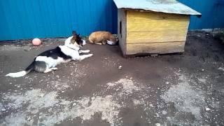 Собака смотрит, как кот ест его еду
