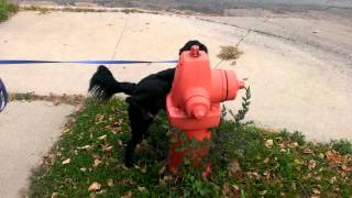 A Dog + A Fire Hydrant = Pee