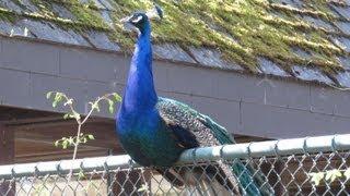 schreie des pfau der pfau schreit peacock cries cry vogelstimmen birdcall tierpark münchen