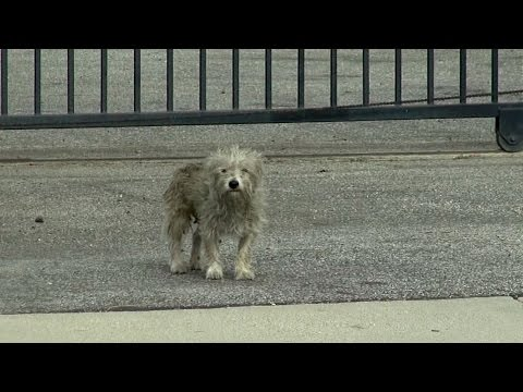 Hendrix: homeless dog in an industrial area - too scared to let rescuers get close.