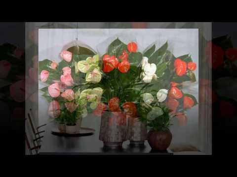 Комнатные цветы, приносящих удачу, деньги и семейное счастье.
