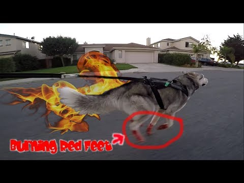 Color Dye Dogs Fur For 3$, Running Into A Loose Belgian Tervuren, CATS