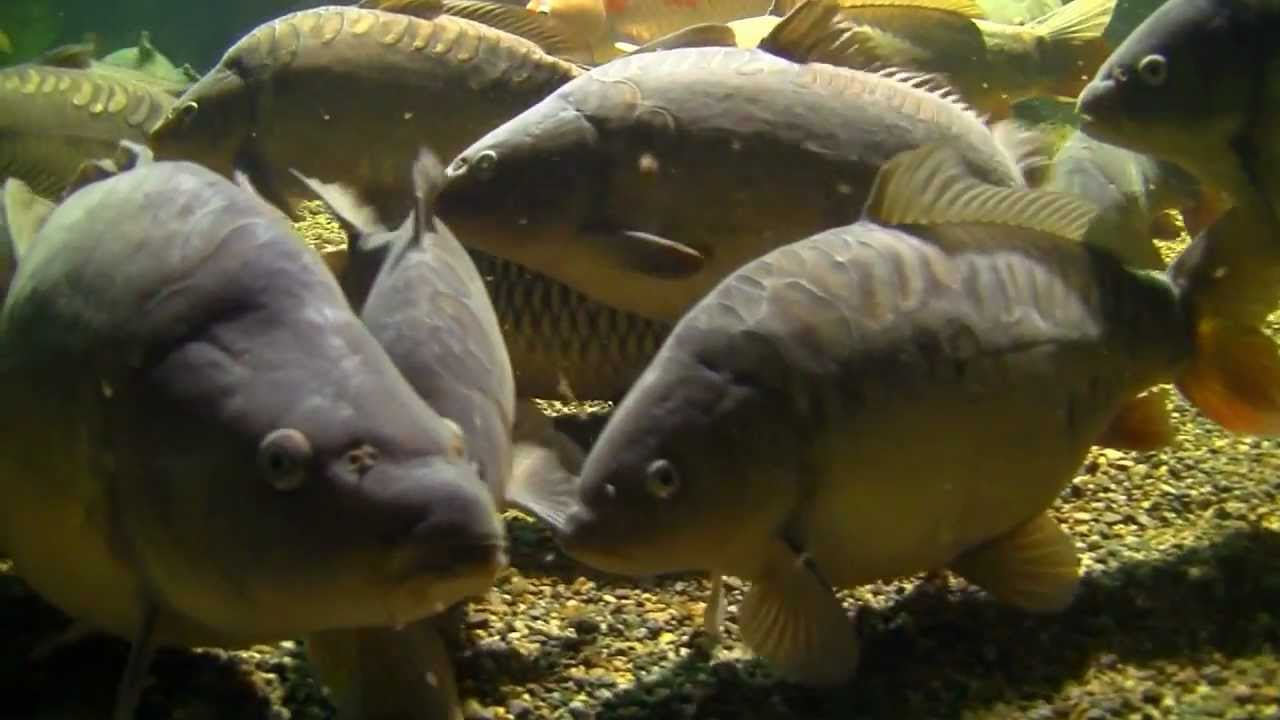 Large common carp mirror carp koi carp underwater k for Large koi carp