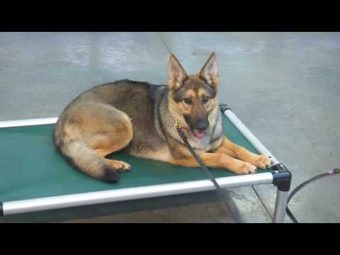 """Obedience Trained Sable German Shepherd """"Kaylin"""" 2 Yrs Dog For Sale"""