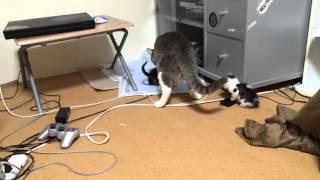 養父猫ワムウ喧嘩してる仔猫のしつけ.