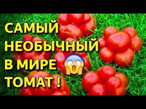 Самый необычный, очень вкусный Томат Рейсетомейт! Удивите себя и соседей! Посадите этот томат!