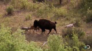 Bison and Her Calf Battle Wolves | North America