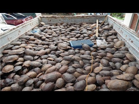 Asia Turtle Farm Technology - How to raise turtles in cement ponds