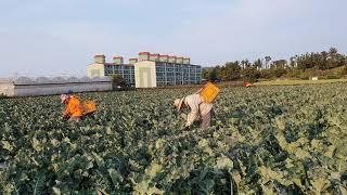 유기농 야채( 브로콜리편)