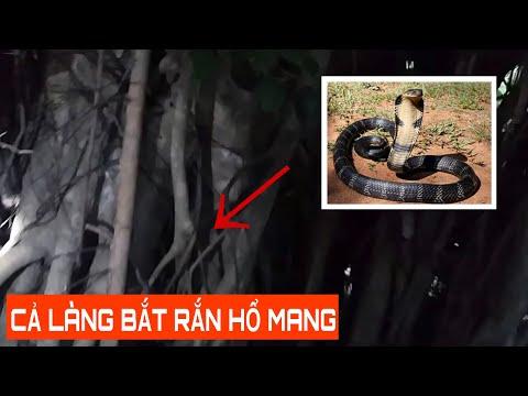 Bắt rắn Hổ Mang 3 khoan cực độc
