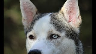 The Alaskan Husky Is Not Considered A Pure Breed It Is Defined Only By Its Purpose