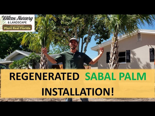 Regenerated Sabal Palm- Landscape Installation