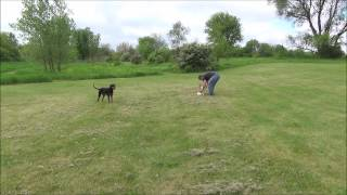 Harley Off Leash Training - Chicago Dog Training