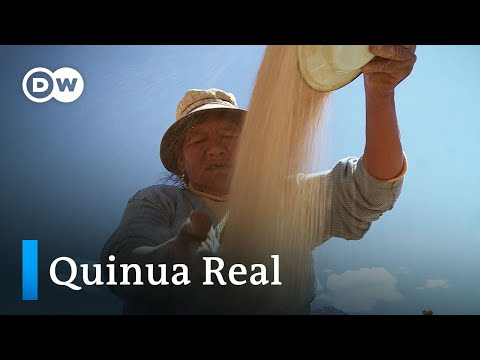 Quinua Real: El Grano Madre De Los Andes
