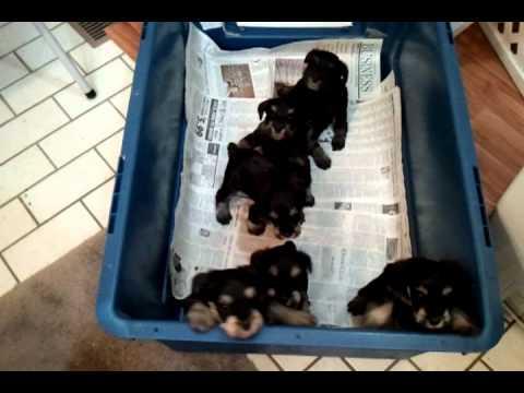 Miniature Schnauzer Puppies For Sale In Wichita