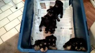 Miniature Schnauzer Puppies From Dragonward Kennel