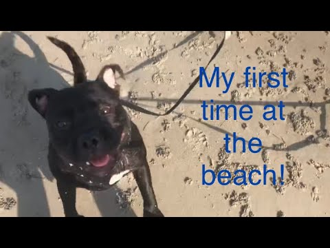 Dexter The Staffy Dog First Trip To The Beach