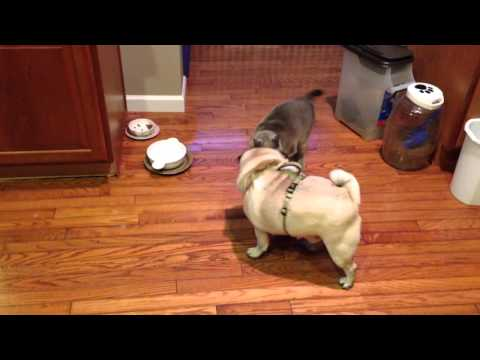 Tonkinese Cat chases Pug away from his food