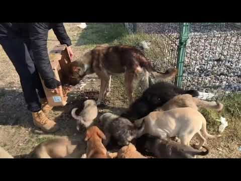 Puppies mauling a dead goat from hunger