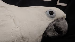 And Here Our Funny Cockatoo Joseph And Tiago Live Stream Now