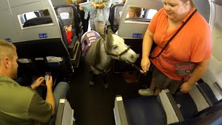 Miniature Horse Named 'Flirty' Takes Commercial Flight