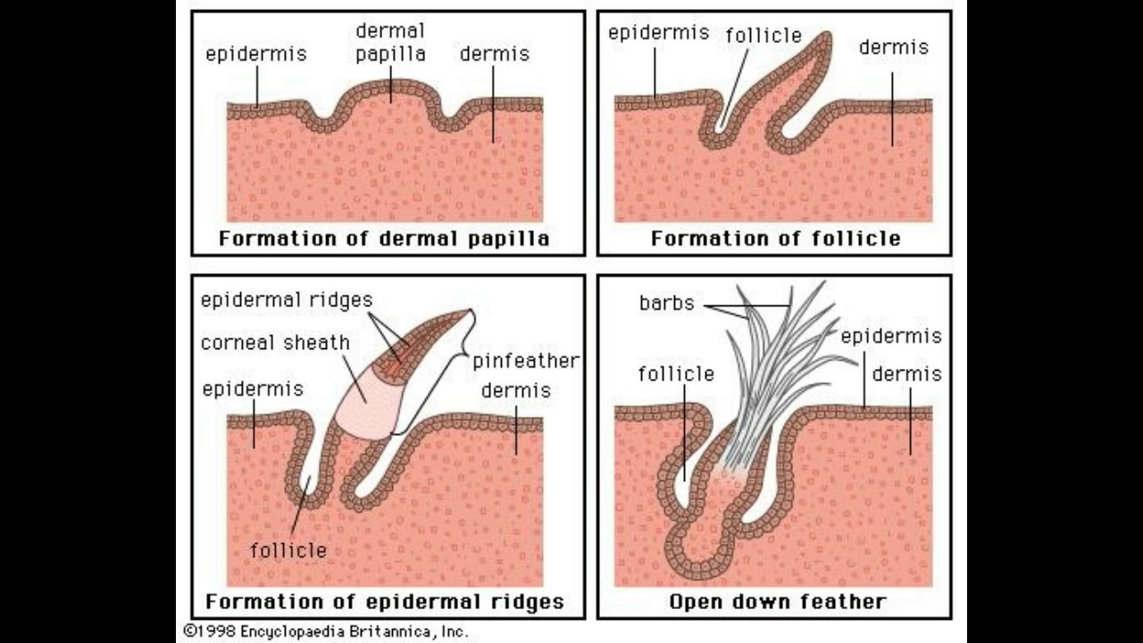 What Are Dermal Papillae