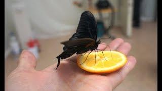 Живые бабочки со всего мира / Выставка в краеведческом музее / Полный контакт / Как их выращивают