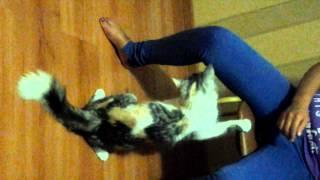 Озабоченная кошка,или Бася просит кота