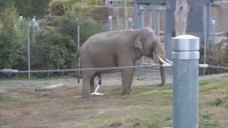 Male Elephant goes to the bathroom, full sequence