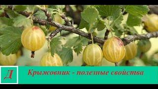 Крыжовник - полезные свойства ягоды