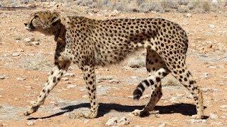 Cheetahs at Solitaire Namibia