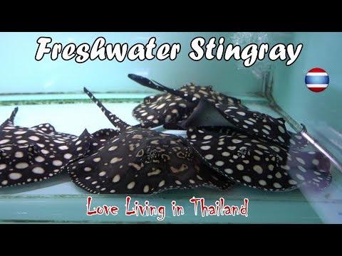 Freshwater Stingray Market WORLD'S LARGEST Bangkok Thailand