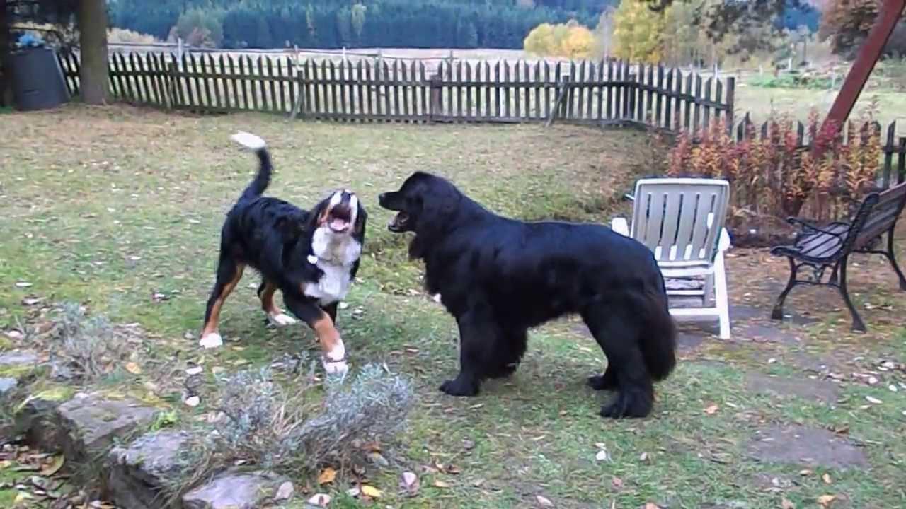 Dogs Fight Bear Video