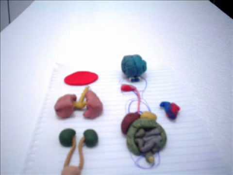 Human organs in english youtube ccuart Gallery