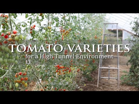 Tomato Varieties for a High Tunnel Environment
