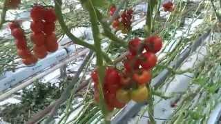 Pomidory kiściowe na krzakach. Szklarnie w Holandii. od andrju1969