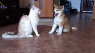 акита ину Фумико Кацуми Йоко ( 2 мес и неделя ) и котэ Макс