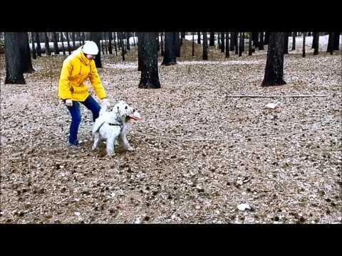 Irish Soft Coated Wheaten Terrier FRANKO VALADA'S IDEALNII MUZHCHINA