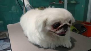 After grooming.Shippo,White Pekingese boy.Owner's Instagram : riesi...