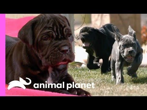 Four Mastiff Brothers Are Training To Be Great Big Guard Dogs! | Too Cute!