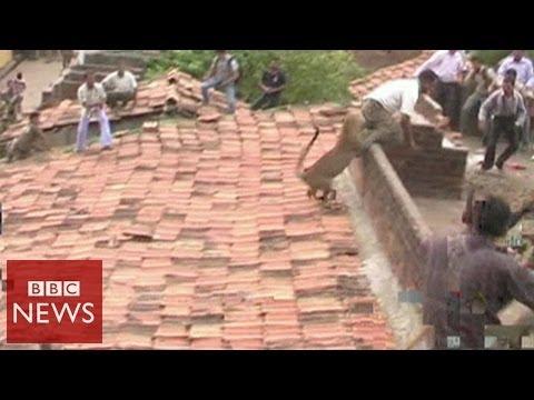 Leopard bites man's behind in India - BBC News